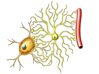 Neurons and Blood Vessel