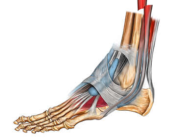 Lateral View of Left Foot Tendons