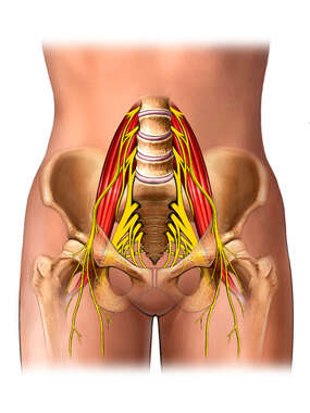 Nerve Supply of the Female Pelvis and Psoas Muscles