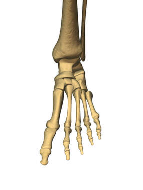 Anterior View of Foot