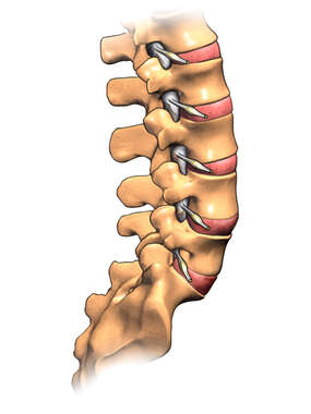The Lumbar Spine with Nerve Roots: Lateral View