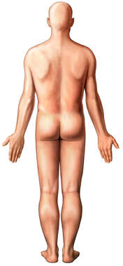 Male Figure: Posterior View