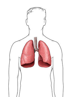 Lungs- Base Lungs