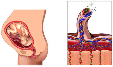 Normal Anatomy of the Placenta