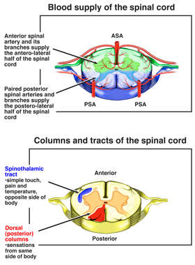 Cervical Spinal Cord