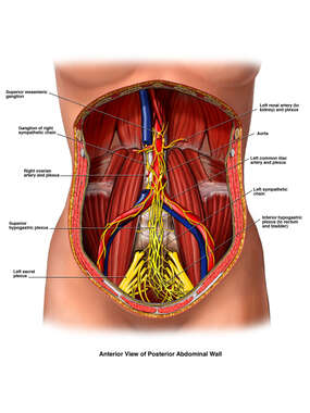 Sympathetic Nerves of the Abdomen and Pelvis
