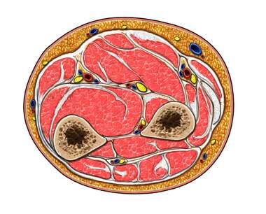 Cross Section of Forearm