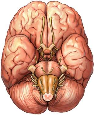 Brain with Cranial Nerves, Inferior View