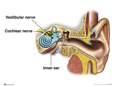 The Vestibular Nerve