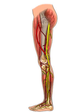 Nerves and Arteries of the Thigh and Lower Leg, Lateral View
