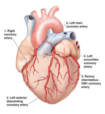 Anatomy of the Heart and Coronary Arteries