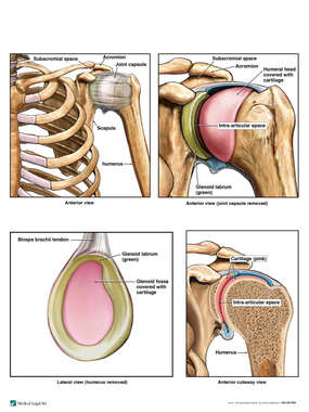 Anatomy of the Left Glenohumeral (Shoulder) Joint