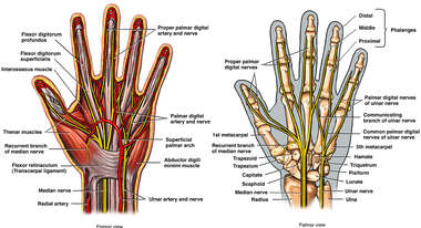 Anatomy of the Hand