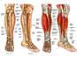 Normal Anatomy of the Right Lower Leg