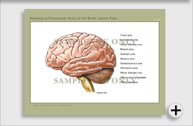 Anatomy of the Brain: Lateral View